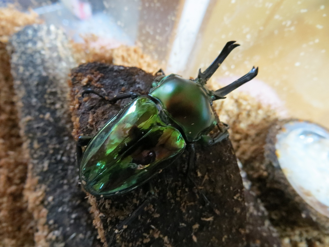 Types of green beetles
